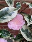 Pink flowered camellia